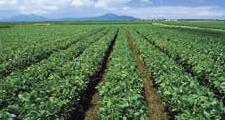 新潟枝豆畑