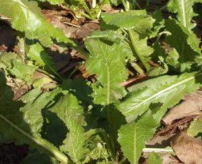 三月菜の畑