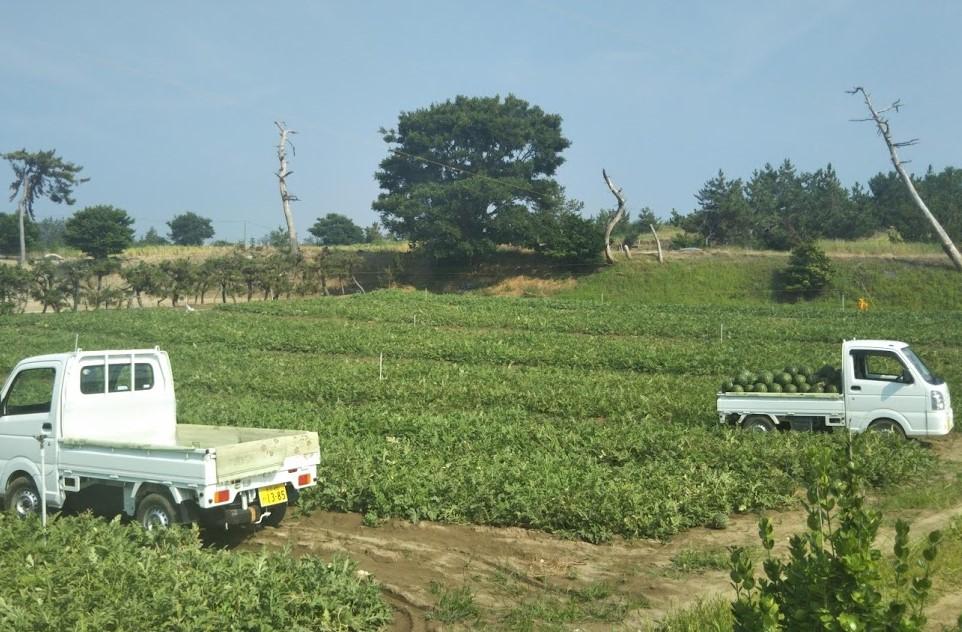 露地栽培砂丘スイカの収穫